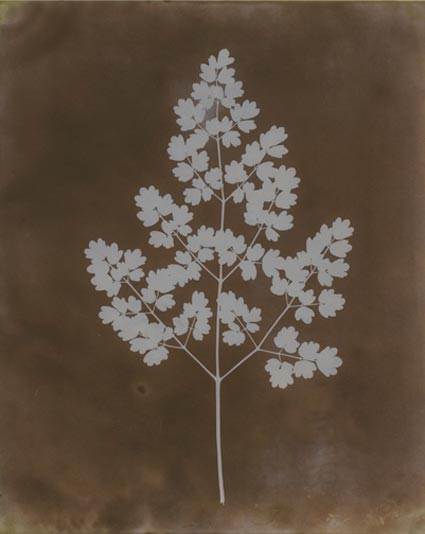 Maidenhair Fern by William Henry Fox Talbot. Source: sunpictures.com